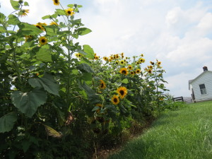 Looking at the beautiful sunflowers standing tall as well as peeping out from below.