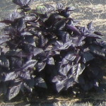 purple basil