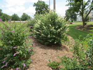 butterfly bush options