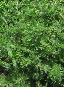 cropped-River-Herb.jpg